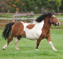 Managing your overweight horse