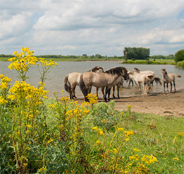 Ragwort: Protect your horse against this poisonous plant