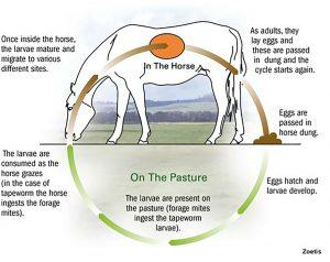Winter Worming: Identifying & treating Encysted Redworm in horses