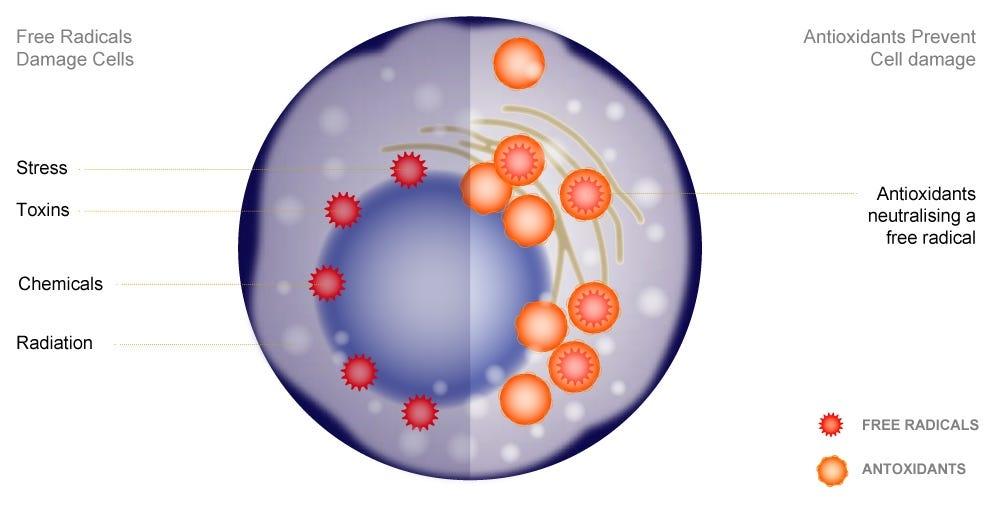 Diagram showing Kurasyn 360x curcumin antioxidants prevent cell damage by scavenging free radicals